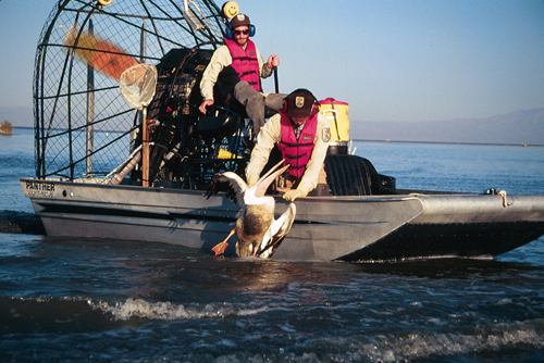 Two wildlife workers in an airboat rescue a pelican from the sea